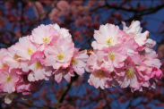 The world's best places to see cherry blossoms