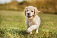 50 least popular dog breeds in America