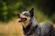 Longest-living dog breeds