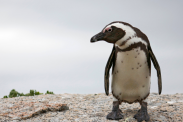Endangered penguins of the world: Why they're threatened and how to help