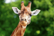 Why do giraffes have long necks? Answers to 25 animal evolution questions