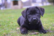 What America's most popular dog breeds look like as puppies